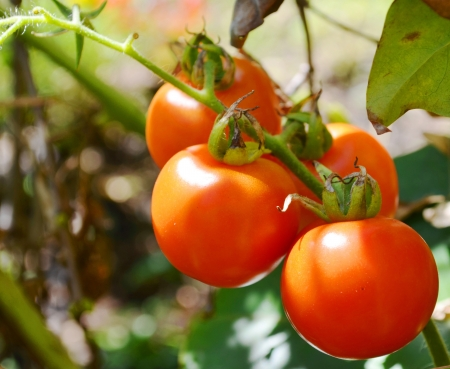 fresh tomatoes Stock Photo - 17328119
