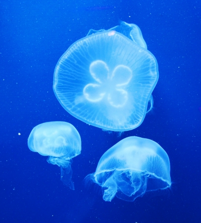 Group of light blue jellyfish photo