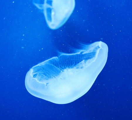 Group of light blue jellyfish Stock Photo - 17996738