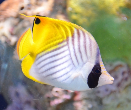 tropical sea surgeon fish in aquarium Stock Photo - 17996746