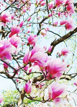 magnolia tree photo