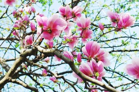 Magnolia Banque d'images - 18378384