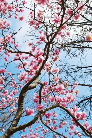 magnolia flower: magnolia tree