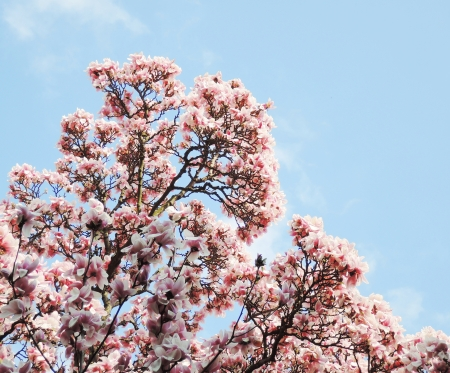 magnolia tree blossom photo
