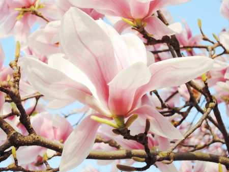 magnolia tree blossom Stock Photo - 20776784