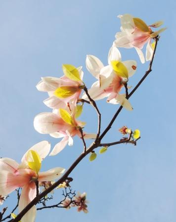 magnolia tree blossom Stock Photo - 20771176