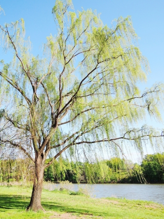 willow tree in the park photo