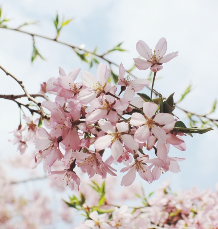 Japanese cherry blossom in spring 版權商用圖片