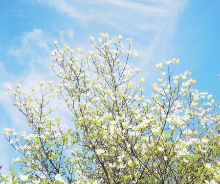 White dogwood tree flowers blooming