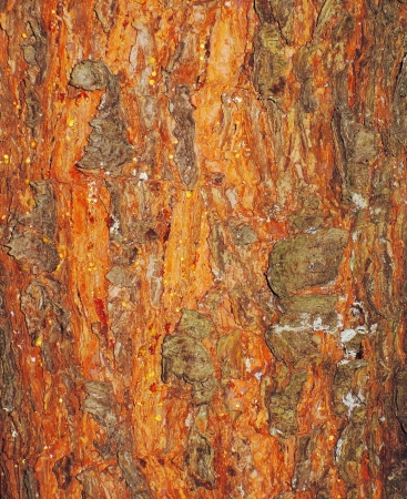 red tree bark texture Stock Photo - 21790373