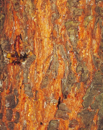 red tree bark texture photo