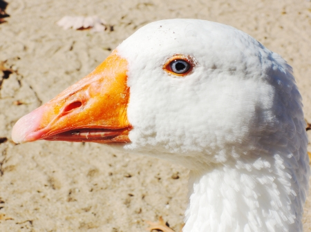 close up white goose head photo