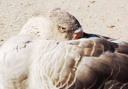 goose sleeping photo