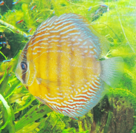 Spotted blue discus Stock Photo - 24839557