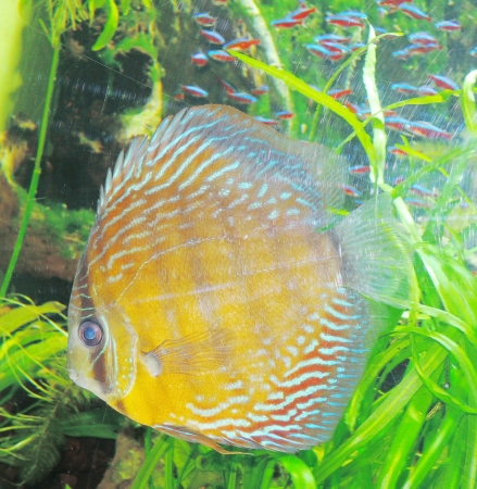 discus: Spotted blue discus