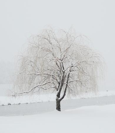 willow winter tree photo