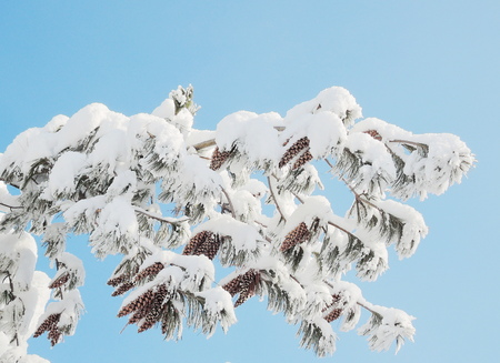 pine tree with cone photo