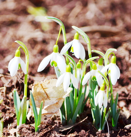 snowdrops flowers photo