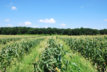 field corn photo