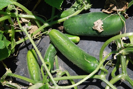 Cucumbers growing on a vine in a farm photo