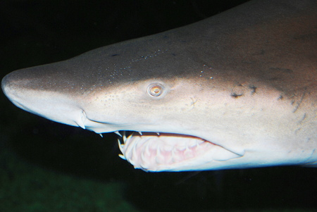 bull shark: shark