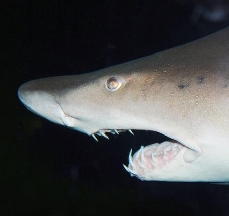 cartilaginous: shark