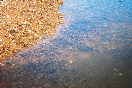 Un sacco di piccoli pesci in un lago Archivio Fotografico - 29812320