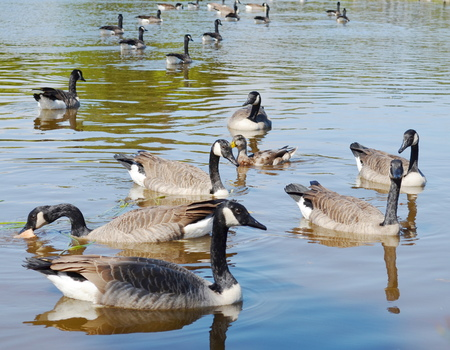 wild geese photo