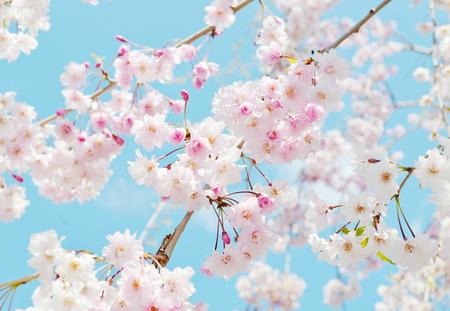 sakura blossom 版權商用圖片 - 31432280