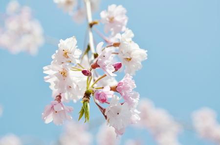 sakura blossom photo