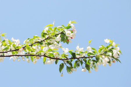 apple blossom photo