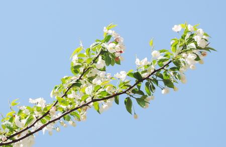 apple blossom photo