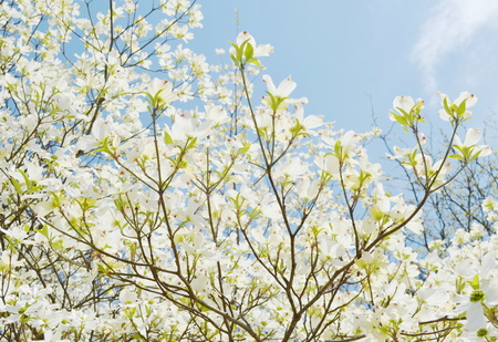White dogwood tree flowers blooming photo