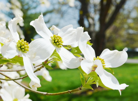 White dogwood tree flowers blooming 版權商用圖片 - 31693780