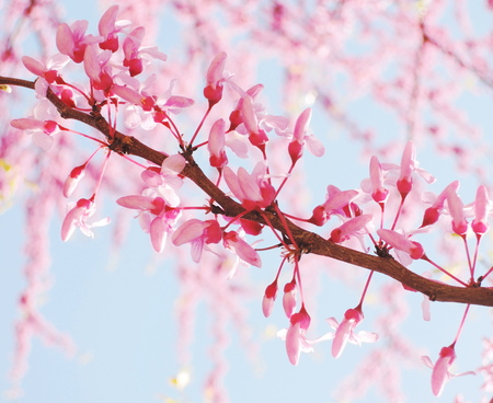 Blooming japan cherry tree branches photo