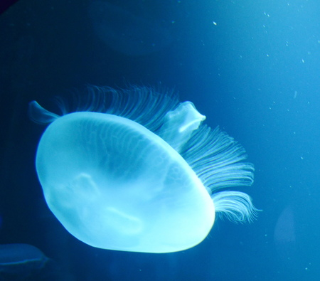 Group of light blue jellyfish photo