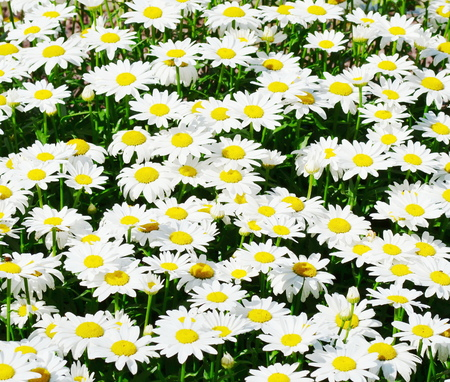 white chamomile photo