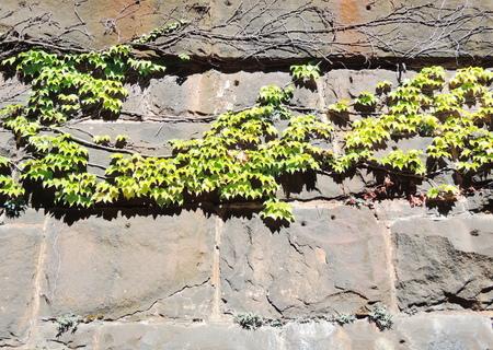 ivy leaves photo