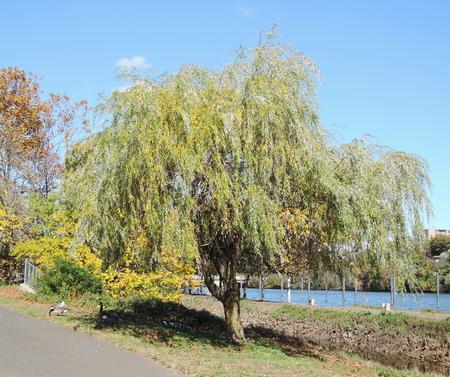 willow tree: willow tree Stock Photo