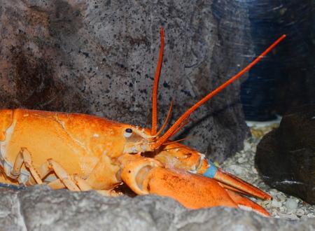lobster in aquarium photo