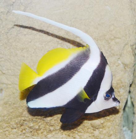 reef fish: aquarium fish