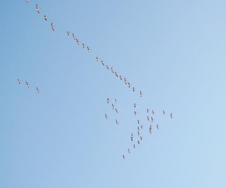 flock of birds: flock birds Stock Photo