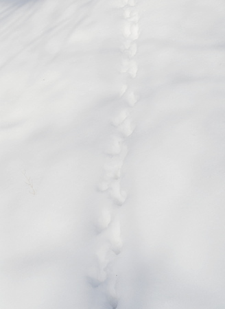 Animal Tracks in Snow photo
