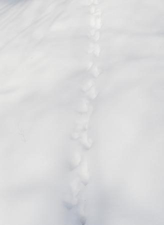 animal tracks: Animal Tracks in Snow Archivio Fotografico