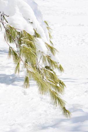 Winter pine branch photo