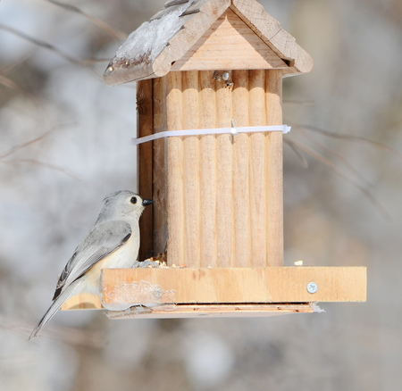 tufted: Tufted Titmouse