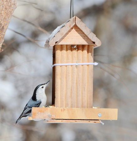 White- breasted Nuthatch photo