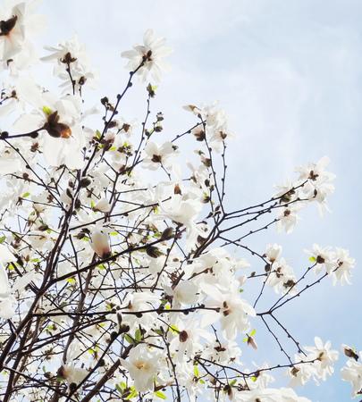 White Magnolia blossom photo