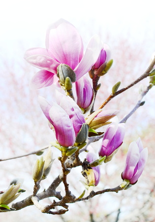 Magnolia blossom photo