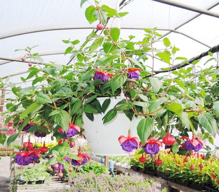 fuchsia flowers photo